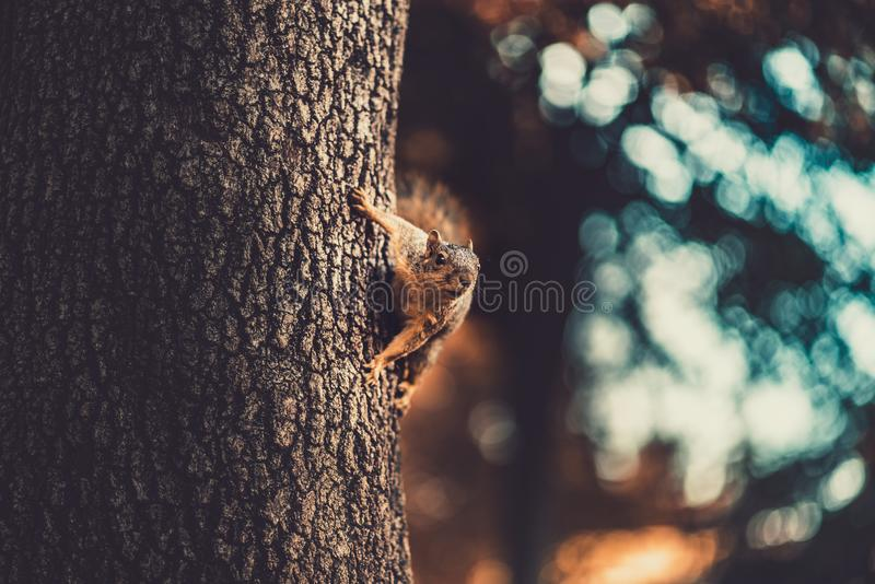 A squirrel on the side of the tree looking off into the distance. Squirrel hanging onto a tree stock image