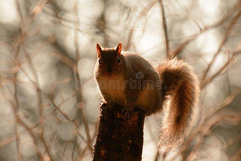 Squirrel silhouette with bokeh background stock image
