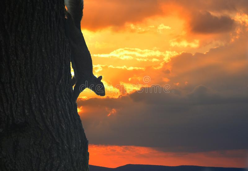 Squirrel silhouette with a fiery evening background. Squirrel silhouette with a fiery, background, vermin, nature, outside, tree, shadow, sneaky, night, dark stock photo