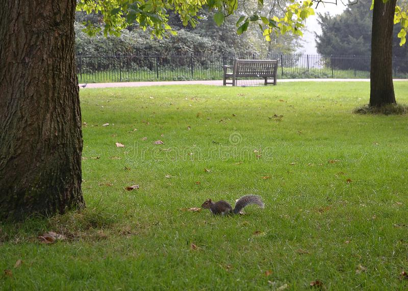 Squirrel sits on the green grass near a tree in Park. Squirrel sits on the green grass near a tree in the park stock photos