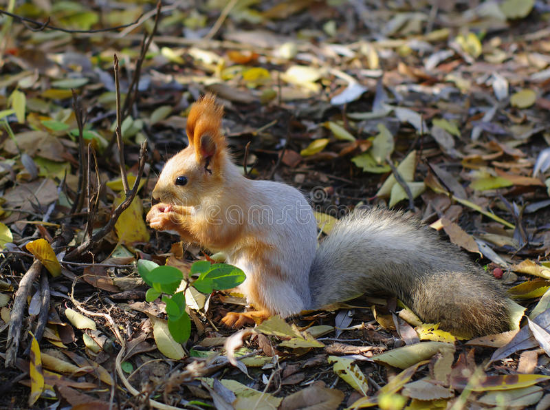 squirrel sits on ground royalty free stock image