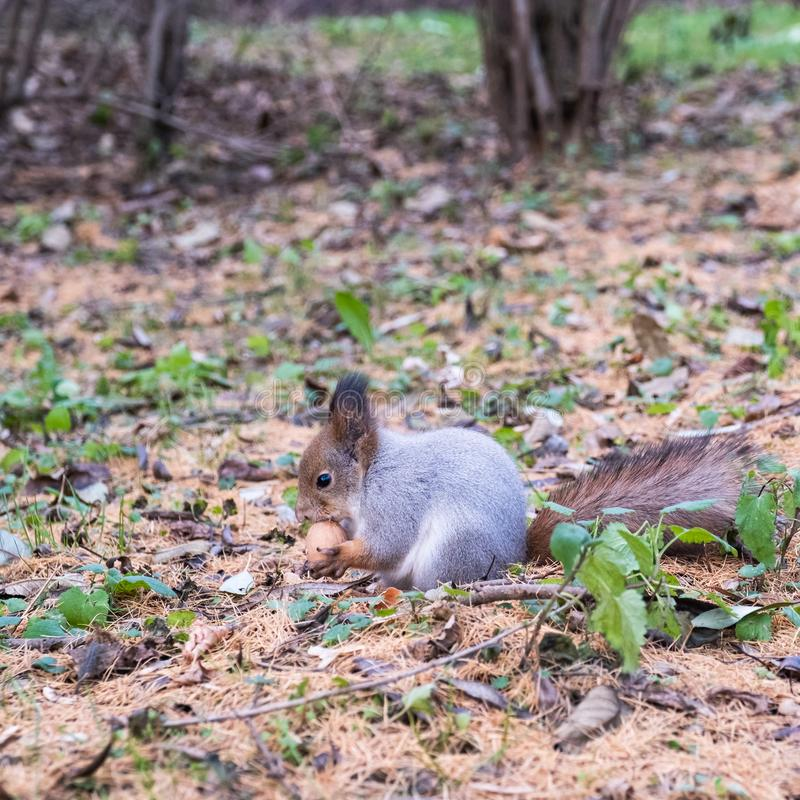 A squirrel sits on ground and gnaws a nut, holding it with its front paws stock image