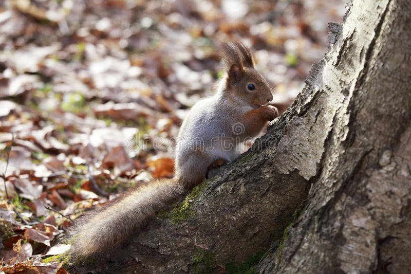 Squirrel sits on a tree. stock photo