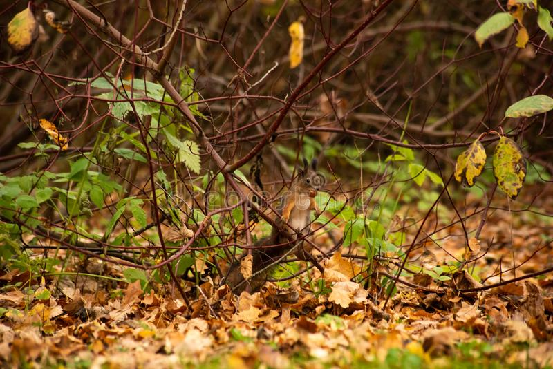 Squirrel sitting on the bushes. With a nut in his teeth, tree, funny, autumn, animal, cute, fur, brown, mammal, wildlife, nature, outdoor, rodent, one, green stock photos
