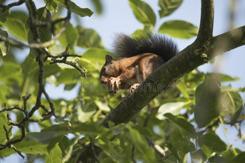 Squirrel sitting high in a tree eating a nut stock photography