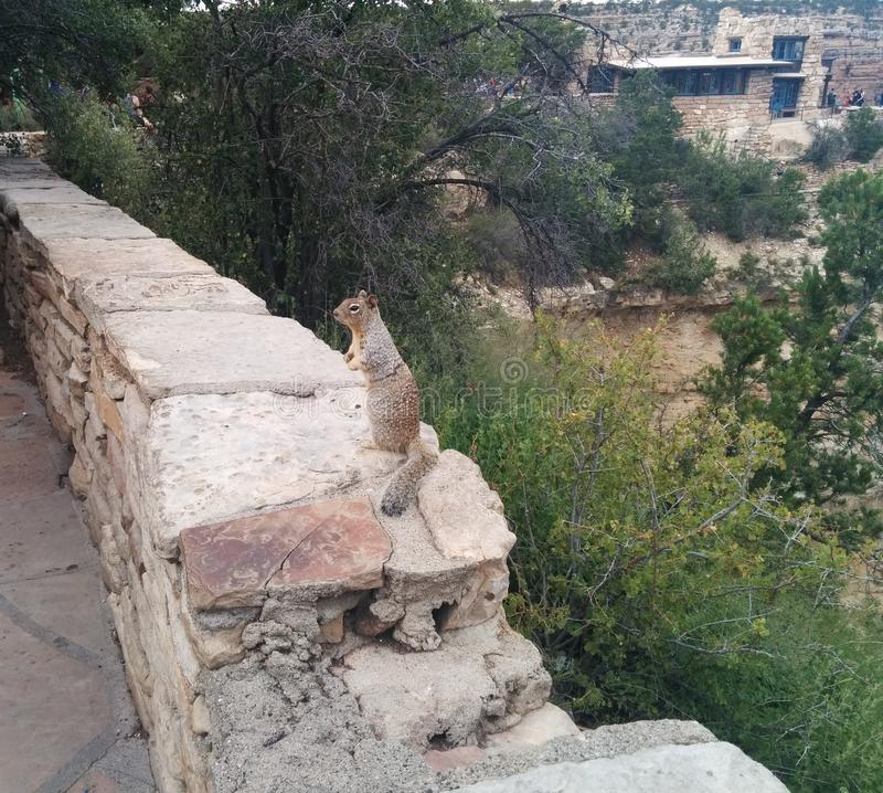 Squirrel sitting on a ledge at the Grand Canyon. With a building on an outcropping in the background royalty free stock images