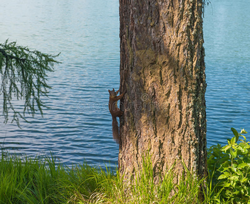 Squirrel Sitting On A Tree Royalty Free Stock Photos