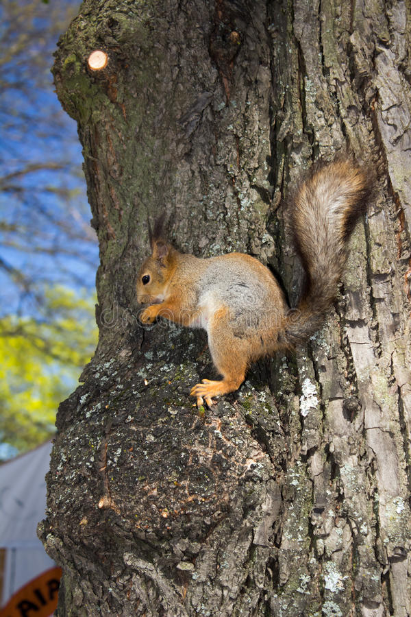 Squirrel sitting on the tree stock photos