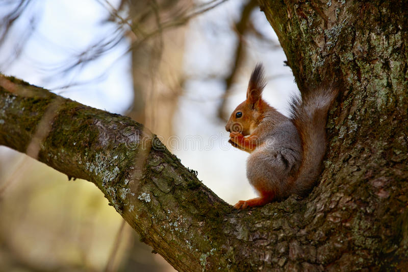Squirrel sitting on the tree and eating a nut. stock photography