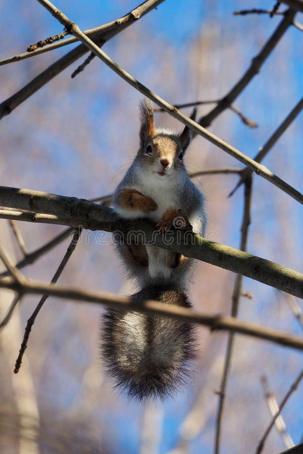 Scared squirrel. royalty free stock image