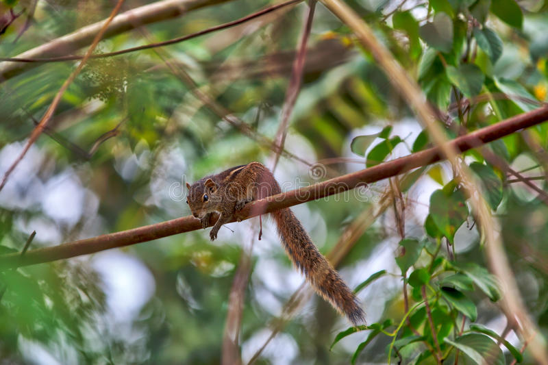 A squirrel is sitting on a twig of a mango tree. On the tropical island Sri Lanka in the Indian Ocean stock images