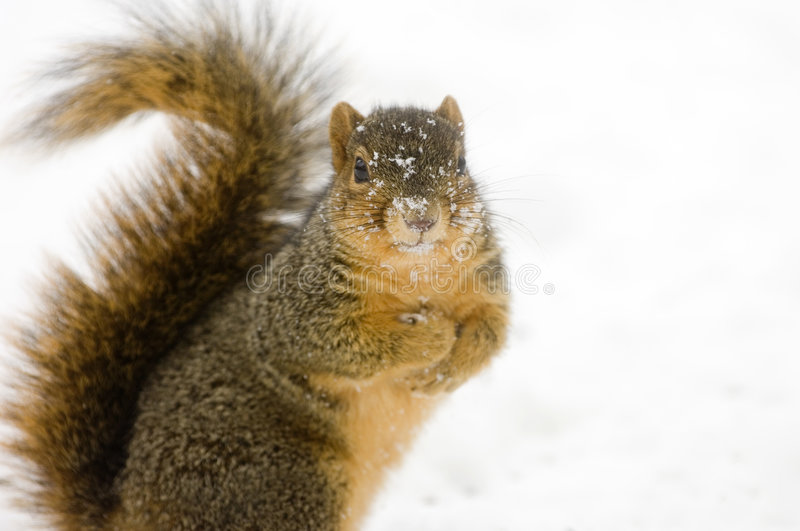 A squirrel in the snow royalty free stock image