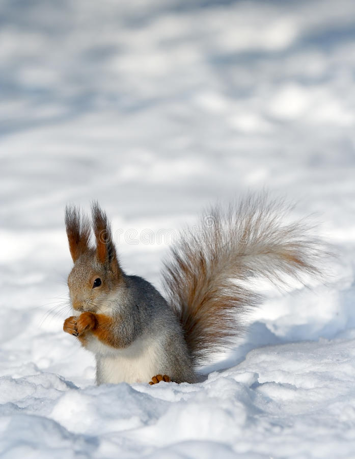 Squirrel on the snow royalty free stock image