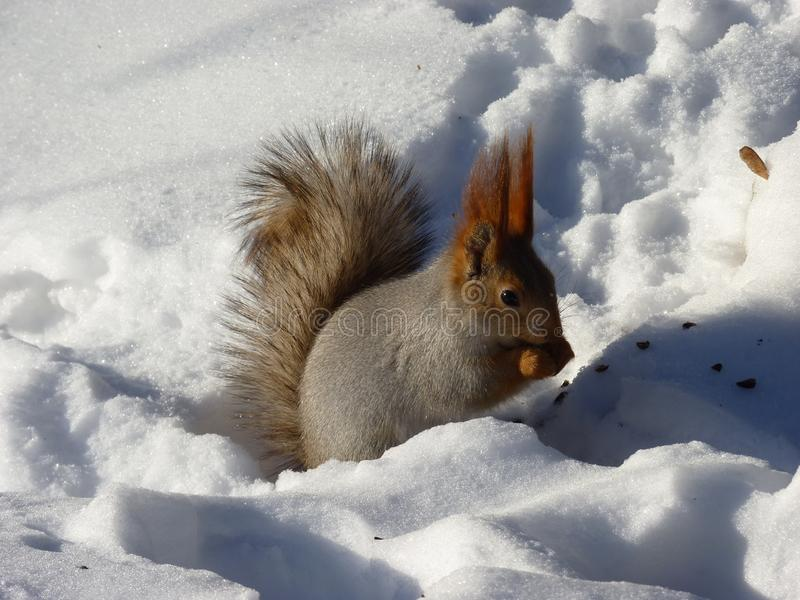 A squirrel on the snow eating the nut royalty free stock photo