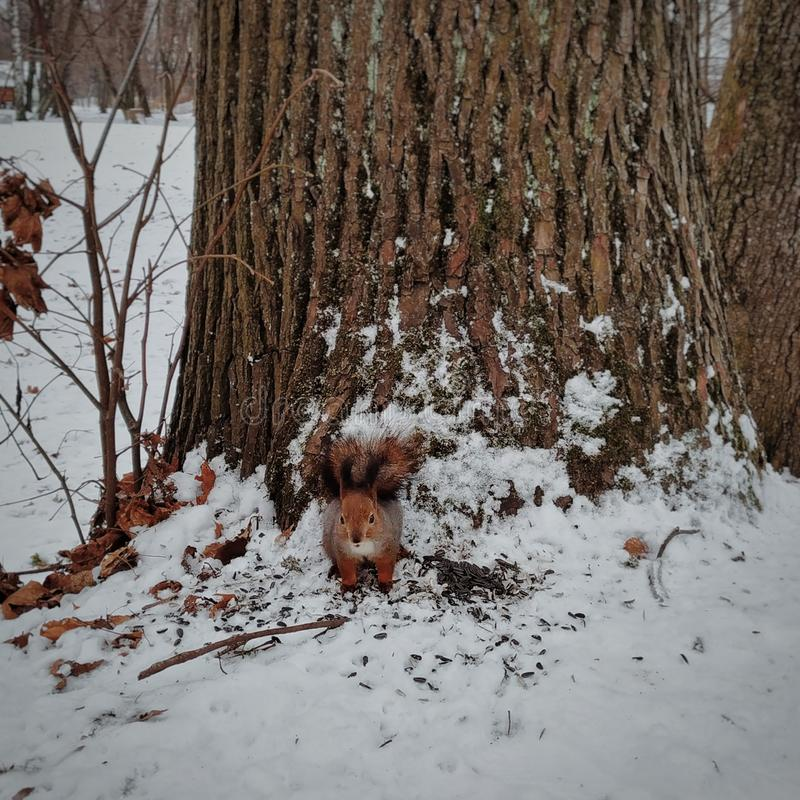 A red squirrel standing near a tree in the snow in a winter park royalty free stock photography