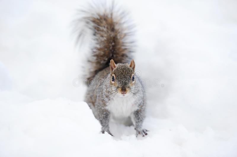 Squirrel with snow in winter stock photo