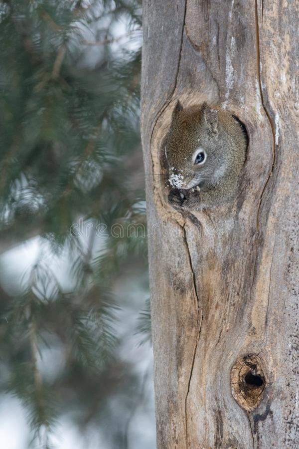 Squirrel with snowy nose sticking out of hole in tree trunk. A squirrel with a snowy nose clutches seeds it found in a hole of a tree which it is now sticking stock photo
