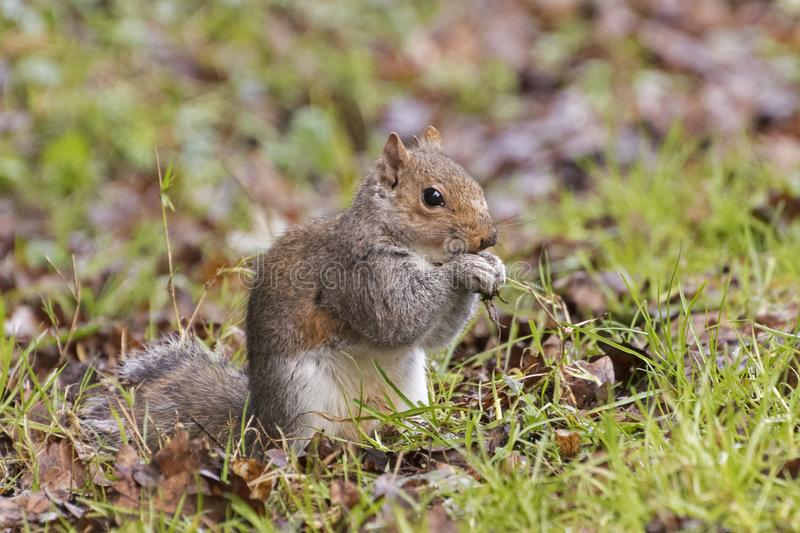 Download A Squirrel On Southampton Common Stock Image - Image of common, eating: 109569031