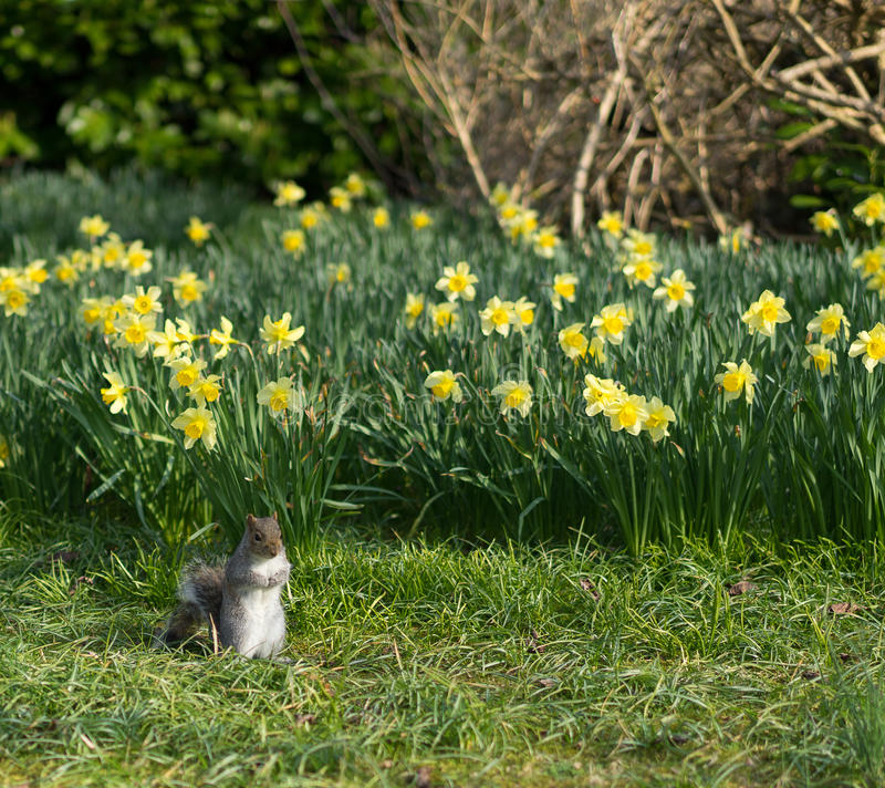 Squirrel in Spring royalty free stock image