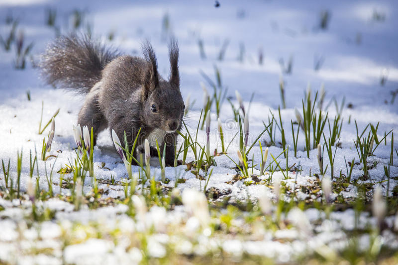 Squirrel at spring with snow stock images