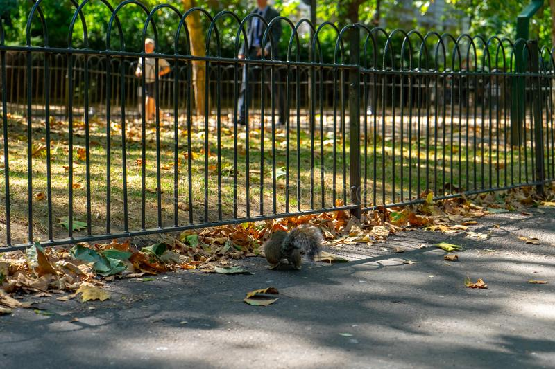 Squirrel on St James Park in London, UK.  stock images