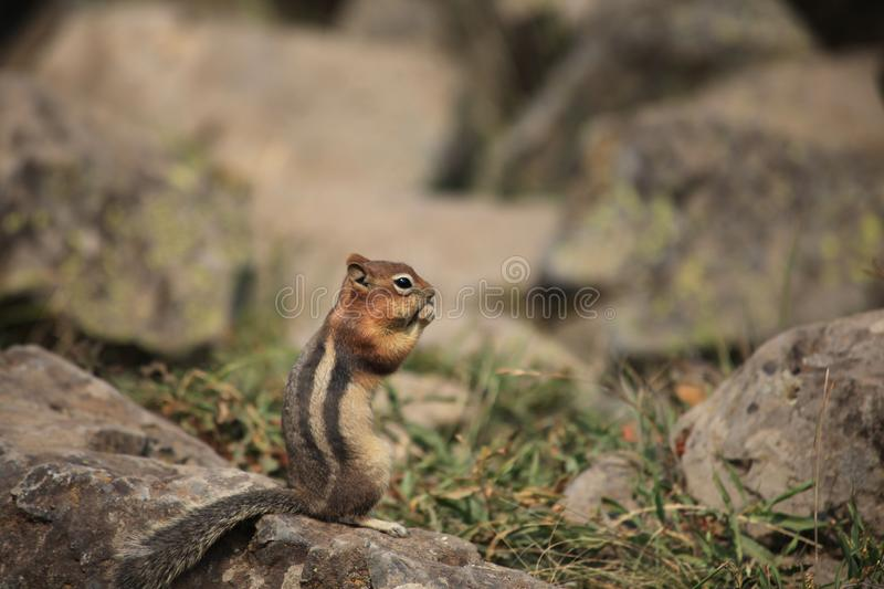 A squirrel is stand on the rock, eating stock image