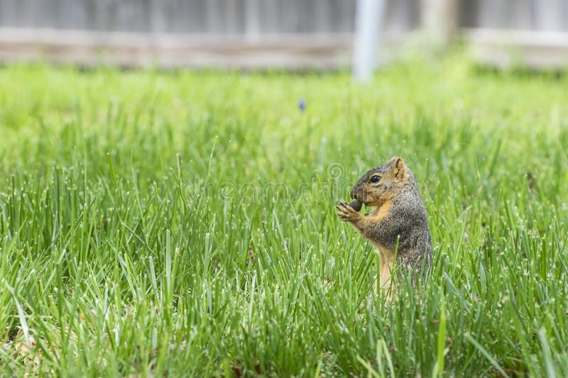 Squirrel standing in grass while nibbling on a pecan stock image
