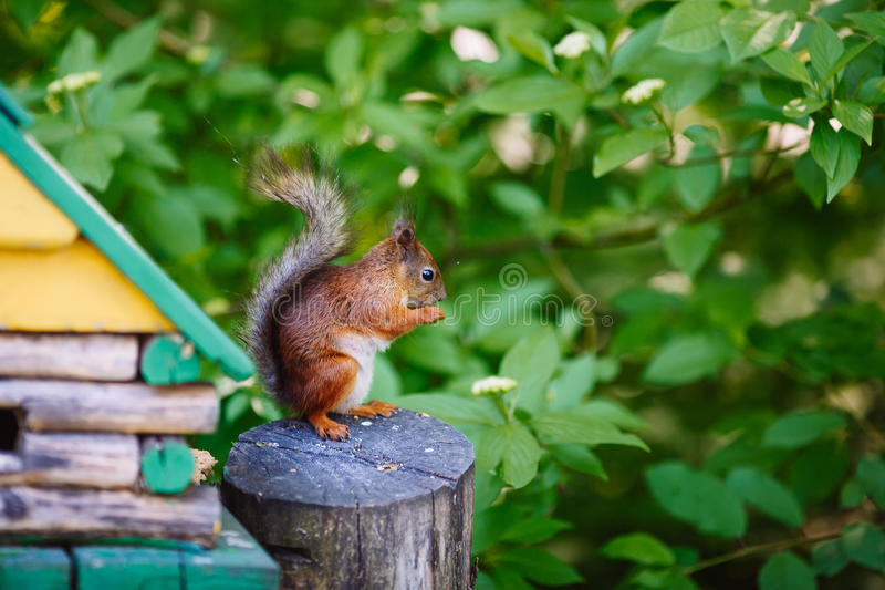 Squirrel standing on the grass stock photo