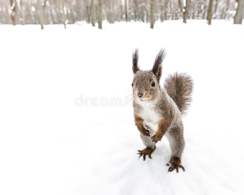 Squirrel standing on hind feet looking forward in winter forest stock images