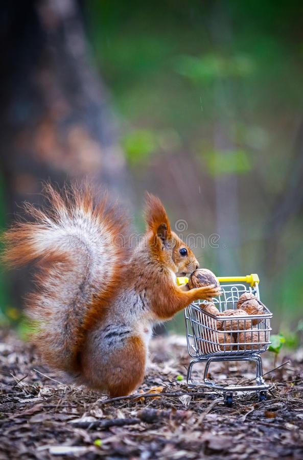 Free Squirrel Stands Near The Miniature Shopping Cart Filled With Nuts Stock Photos - 162668853