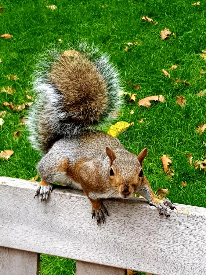 This squirrel stares and says what you looking and faces off in Postmans Park London on a dry clear day, still looking nuts royalty free stock image