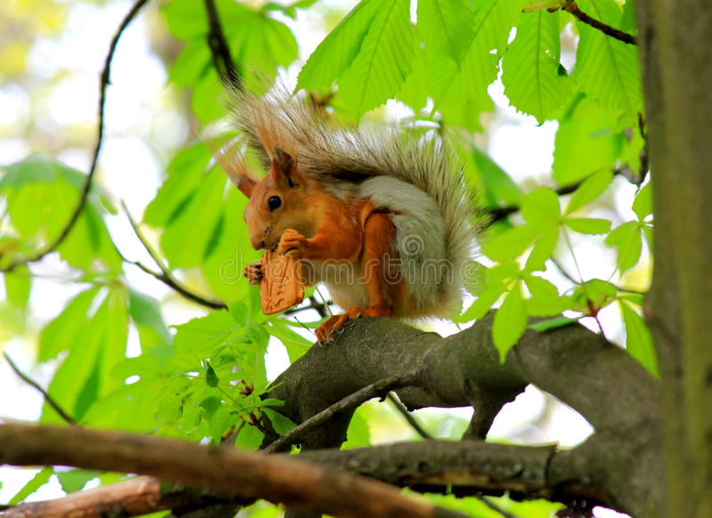 Squirrel stealing cookies. stock photos