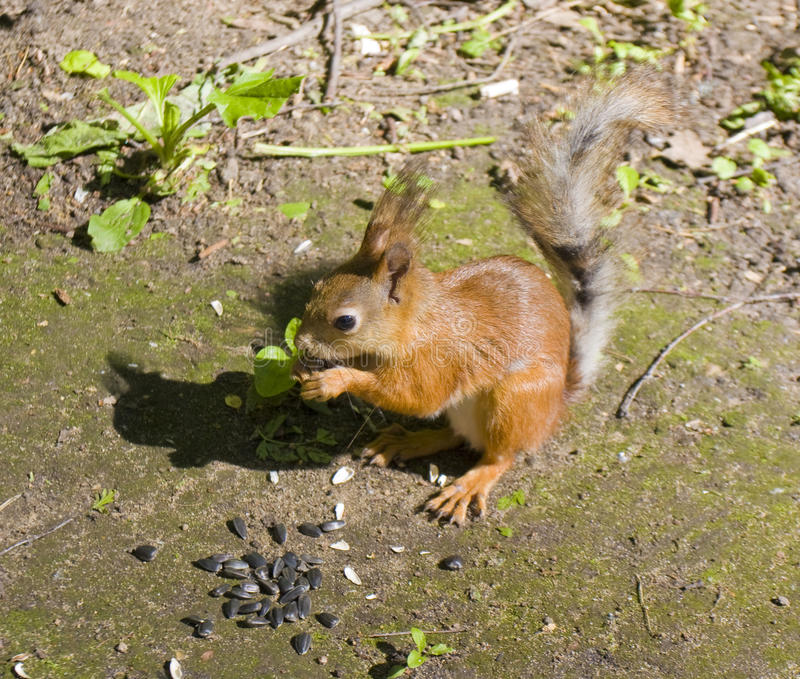 Squirrel with sunflower seeds stock photography
