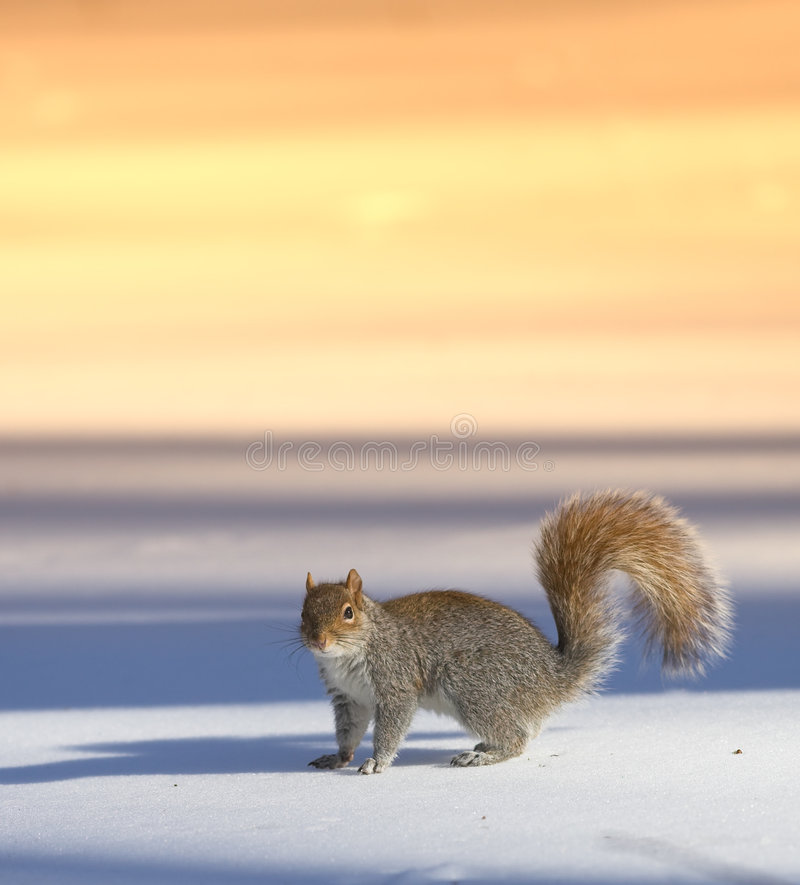 Squirrel - at sunset stock photo