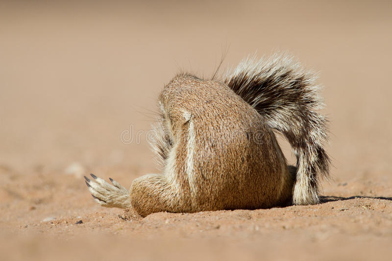 Download Squirrel Tail Royalty Free Stock Image - Image: 26536926