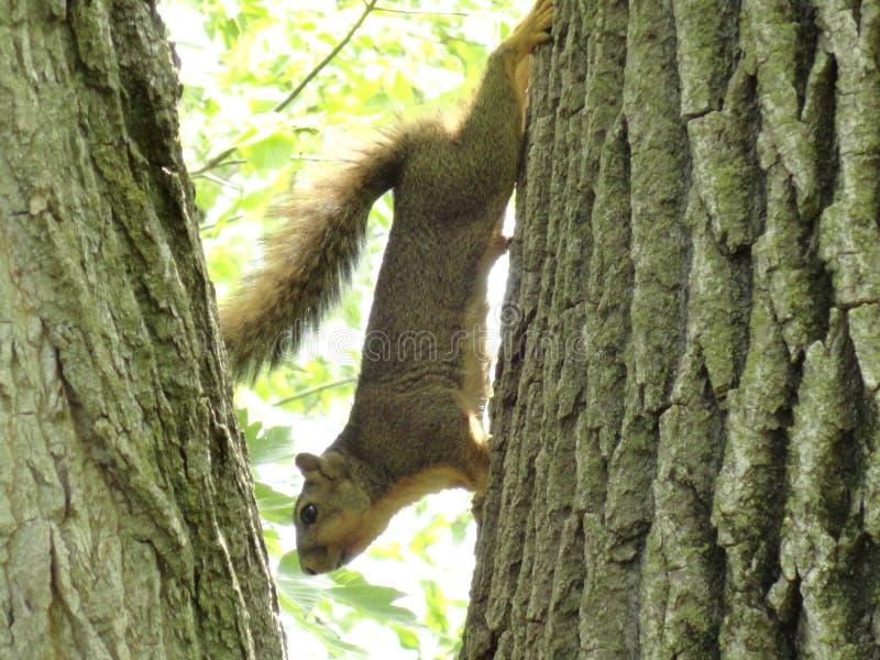 Download Squirrel stock photo. Image of city, camera, garden, iris - 43028970