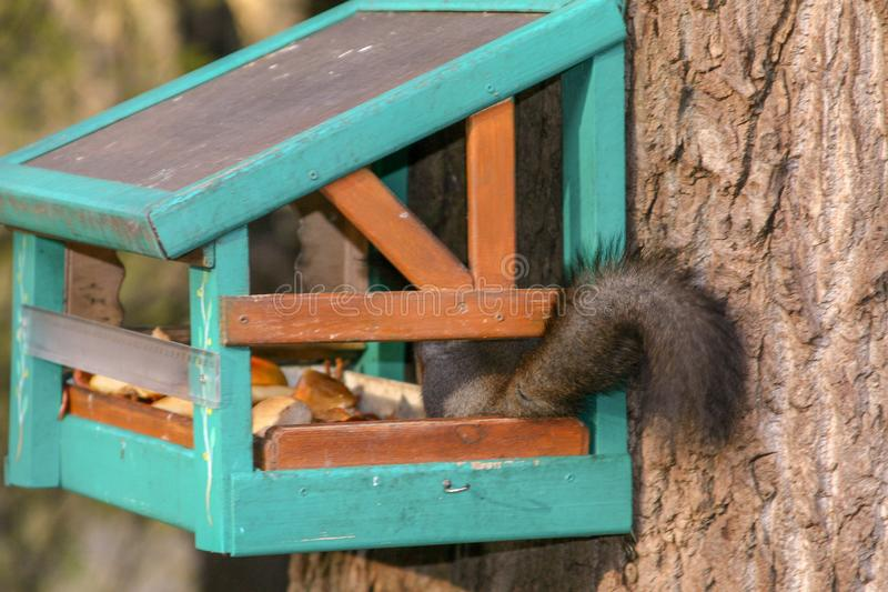 A squirrel tail sticks out of a feeder mounted on a tree in an autumn park. royalty free stock images