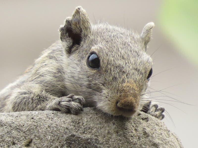 Squirrel thinking royalty free stock photos
