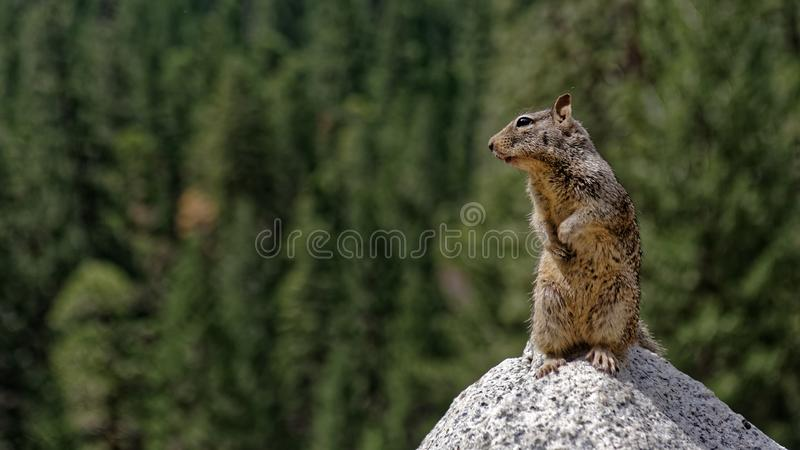 Squirrel on trail at Yosemite Valley stock photo