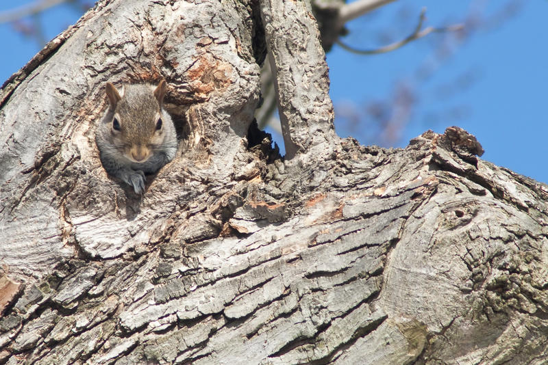 Download Grey Squirrel In Tree Trunk Stock Image - Image of tree, natural: 13023081