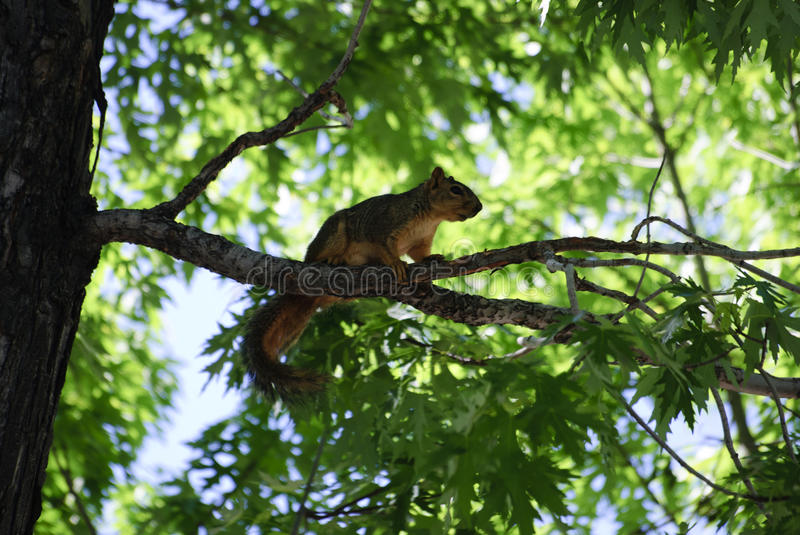 Squirrel in tree. An adult brown squirrel in a oak tree on a branch, shot in pueblo colorado during the spring royalty free stock photos