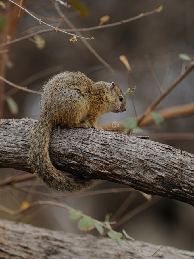 Squirrel on a Tree. This little rodent i can photograph in the Kruger National-Park in South Africa royalty free stock image