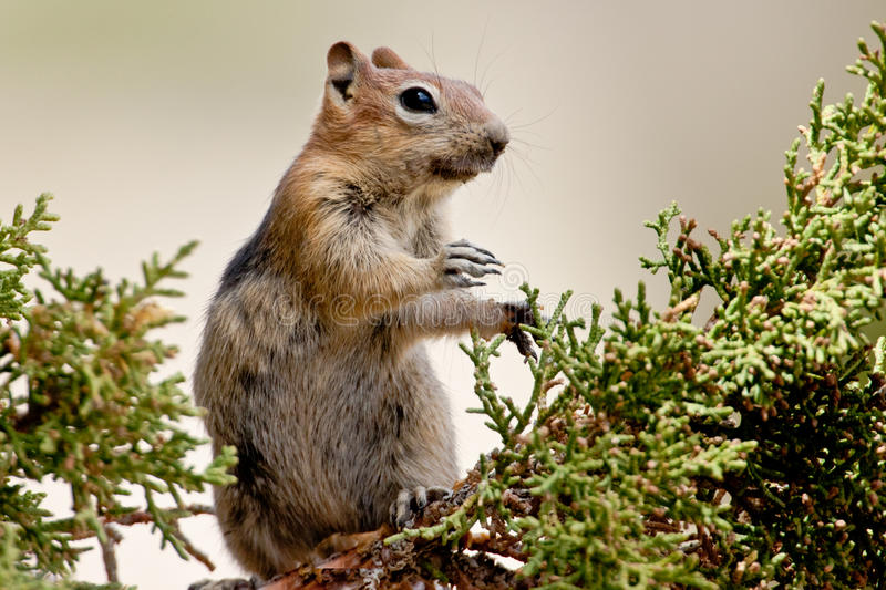 Download Squirrel In Tree stock image. Image of hunched, osteosperma - 26090997