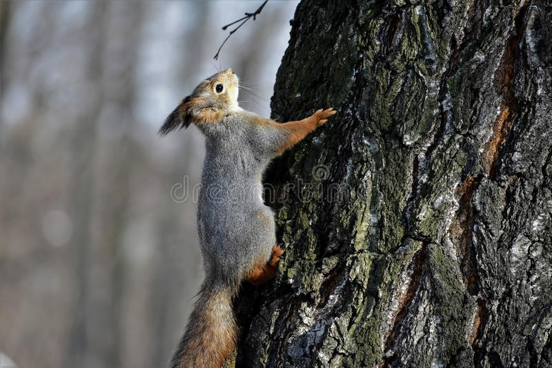 A squirrel on a tree bark stock photography