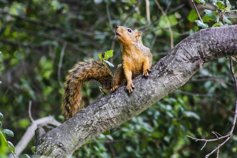 Squirrel On Tree Branch stock photos