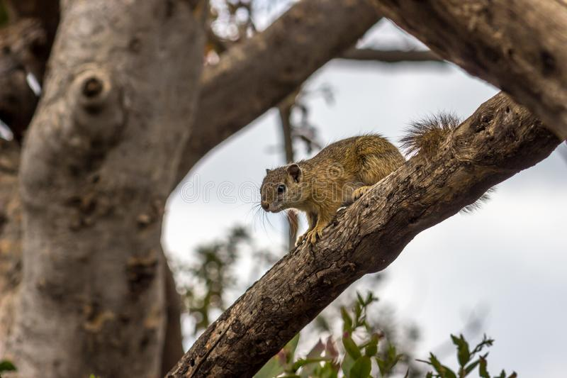Squirrel on tree branch. Pilanesberg national park stock image