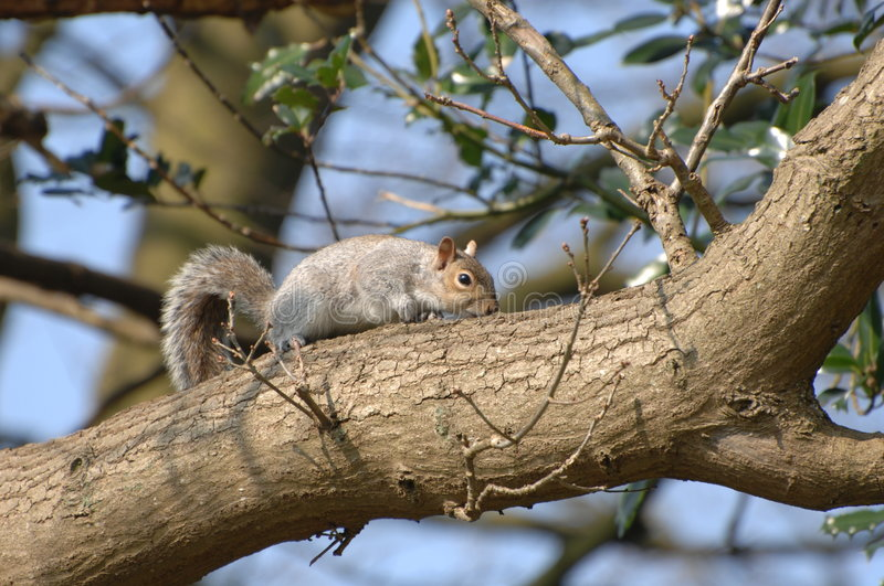 Squirrel on tree branch stock photo