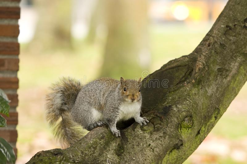 Download Squirrel on Tree Branch stock image. Image of gravel, branch - 7811417