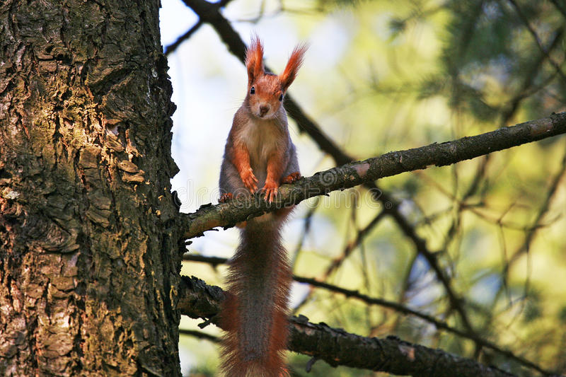 Squirrel on a tree branch stock photography