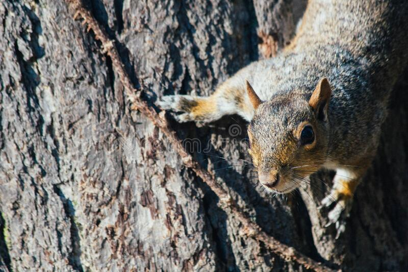 Squirrel on tree royalty free stock images